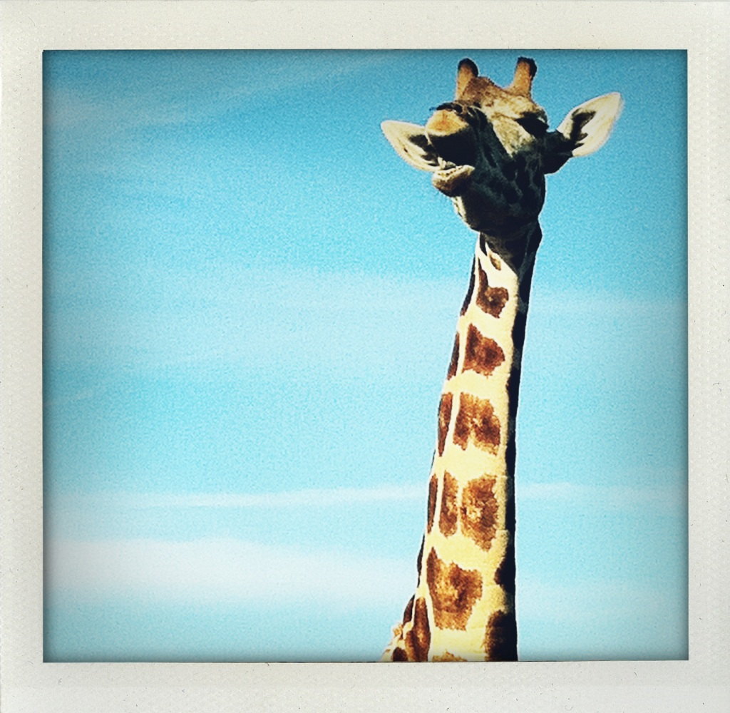 Giraffe at Lion Country Safari