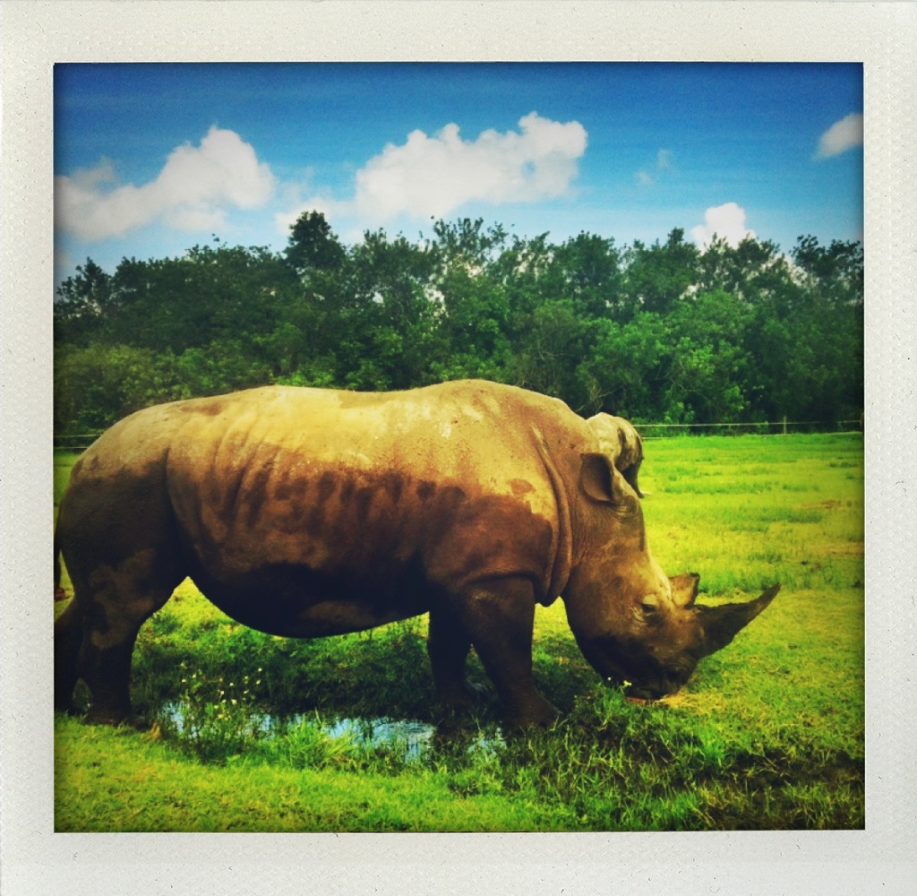 Rhino at Lion Country Safari