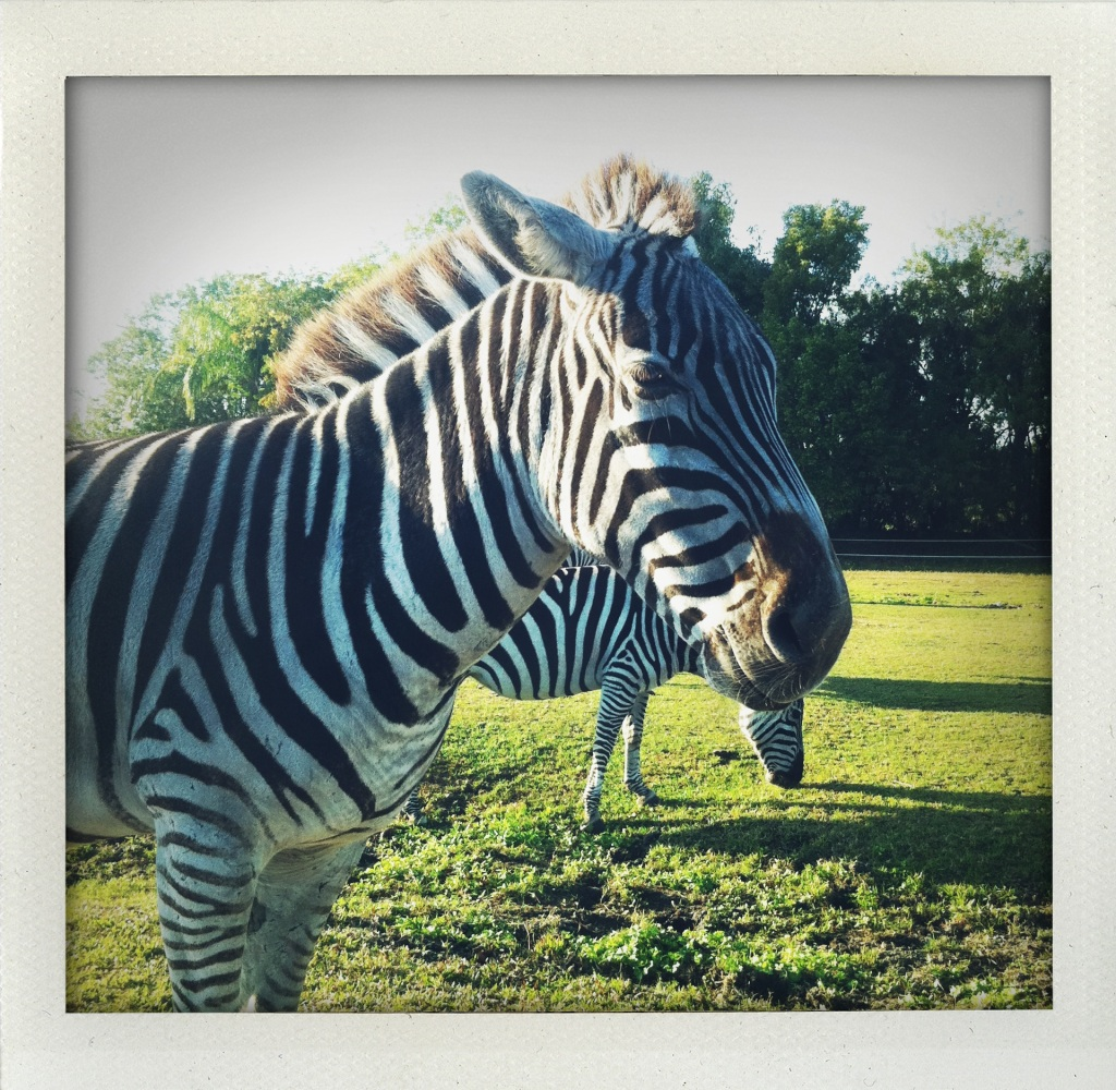 Zebra at Lion Country Safari